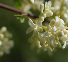 European Privet by marens