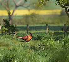 Pheasant in English Countryside by Nigel Tinlin