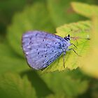 Holly Blue by Dave Godden