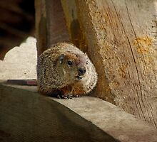 How much wood would a woodchuck chuck if a woodchuck could chuck wood? by BigD