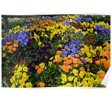 Fields of Brightly Colored Pansies Poster