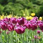 Purple Tulips by VikasGupta