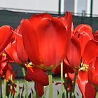 Red Tulips by VikasGupta