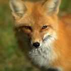 Red Fox by Jeff Weymier