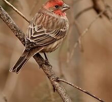 House Finch by Jeff Weymier