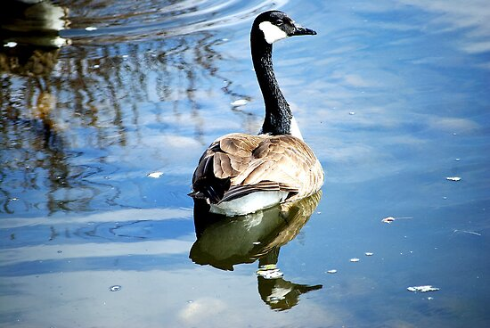 Canadian Goose by Laurast