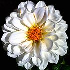 White Dahlia by Laurast