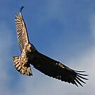 Juvenile Bald Eagle by Randall Ingalls