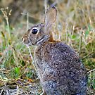Peter Cottontail by Randall Ingalls