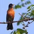 Male American Robin by Renee Blake