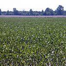 Corn Field by WeeZie
