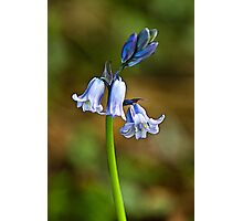 Bluebells Photographic Print