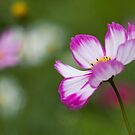 Cosmos Carousel by Mandy Disher