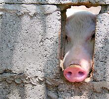 peeping pig by lensbaby