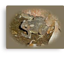 Common Toad - Bufo americanus Canvas Print