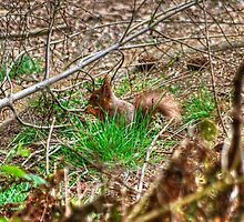 Tufty,The Forest Dweller by VoluntaryRanger