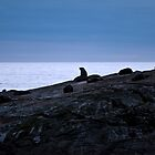 A Rock Full of Seals by Sheaney