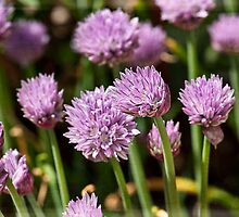 Chives by Roy Griffiths