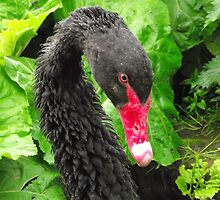 Black Swan - (Cygnus atratus) by nellie11