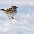 White-throated Sparrow on Snow by Tom Dunkerton