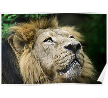 Lion Gazing - Waiting for his lunch Poster