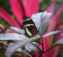 The Postman Butterfly, posing on a leaf by Paula Betz