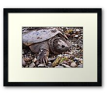 Common Snapping Turtle Framed Print