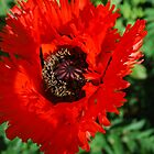 Memorable Poppy by Geraldine Miller