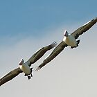 Unity - Australian Pelicans in Flight by Haggiswonderdog