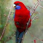 Crimson Rosella by Robert  Welsh