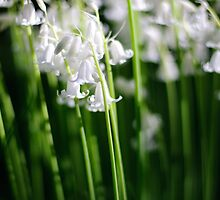 White Bells by OliverWood