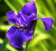 Purple Iris - New York Botanical Garden by caitsings