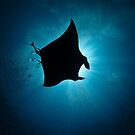 Manta Silhouette-flying past the sun at noon by shellfish