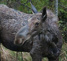 Cow Moose - Algonquin Park, Ontario by Stephen Stephen