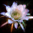 Cactus Flowers  by Saija  Lehtonen