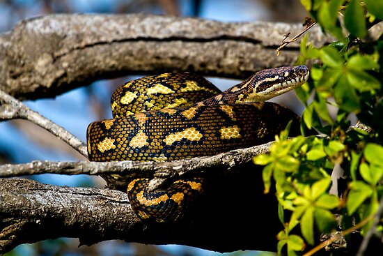 Winter Carpet - Morelia spilota mcdowelli by Normf