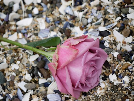 Seashell Rose by Rae Tucker