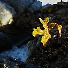 Rockweed by FlotsamDiaries