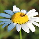 fly on daisy by SusieG