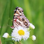 butterfly on small flower in field by SusieG