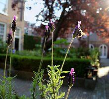 Lavender by Marcel van Ommeren