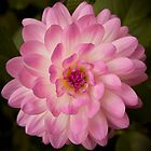 Pink Dahlia by Craig Higson-Smith