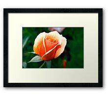 Peach rosebud Framed Print