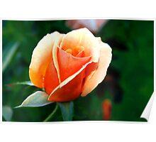 Peach rosebud Poster