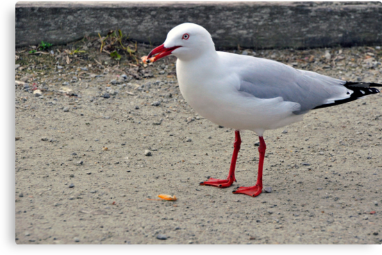 Gull with  tasty morsel by Jane  mcainsh