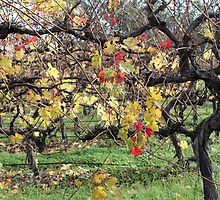 Autumn leaves on vines - McLaren Vale by Leoni South