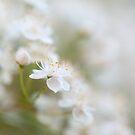 Soft white by Rachael Talibart