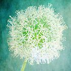 Magic - Fine Art Photograph of a White Allium on an Aqua Textured Background  by Nicola  Pearson