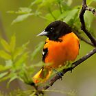 Baltimore Oriole by Jeff Weymier
