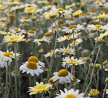 Lots of Daisies by Denice Breaux